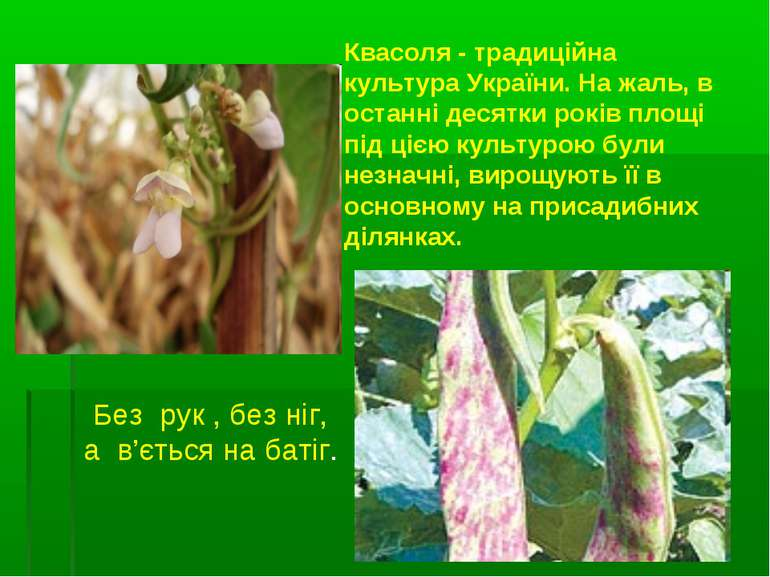 Квасоля - традиційна культура України. На жаль, в останні десятки років площі...