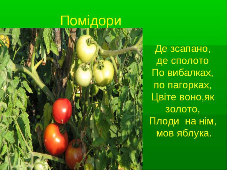 Помідори Де зсапано, де сполото По вибалках, по пагорках, Цвіте воно,як золот...
