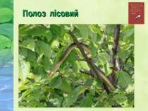 Полоз лісовий