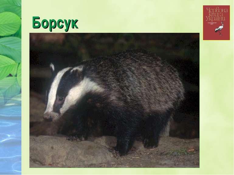 Борсук
