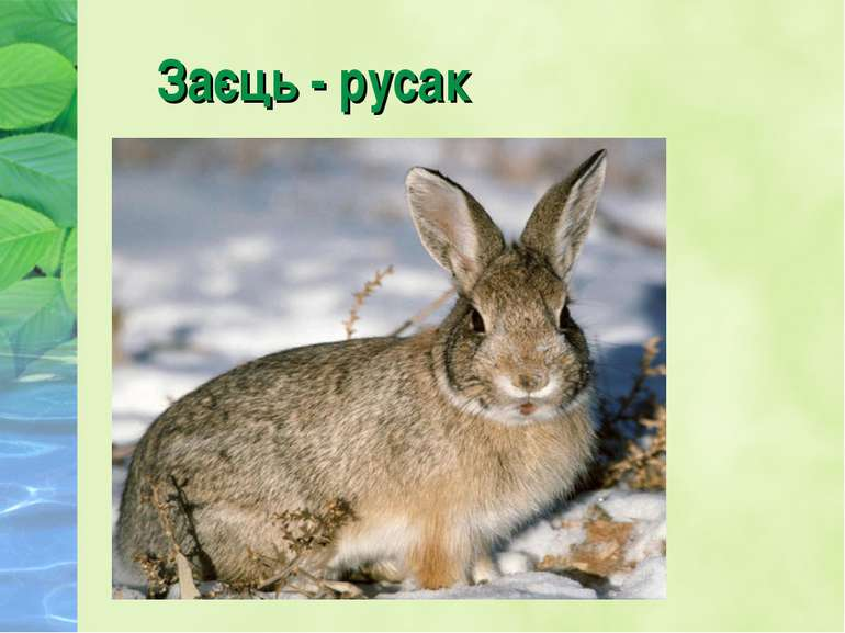 Заєць - русак