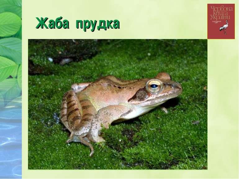 Жаба прудка