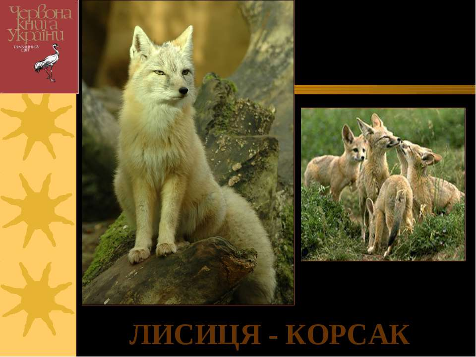 ЛИСИЦЯ - КОРСАК