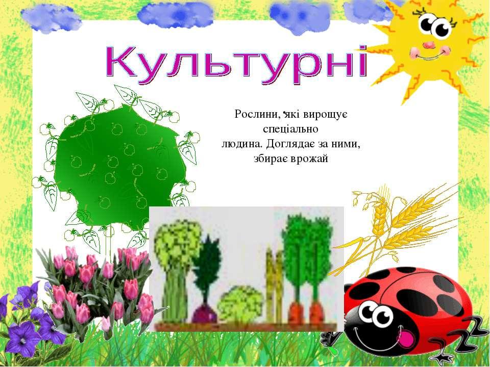 . Рослини, які вирощує спеціально людина.Доглядає за ними, збирає врожай
