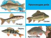 Прісноводна риба Йорж Сазан Пічкур Краснопірка Окунь