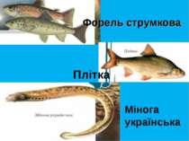 Форель струмкова Плітка Мінога українська