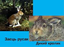 Заєць русак Дикий кролик