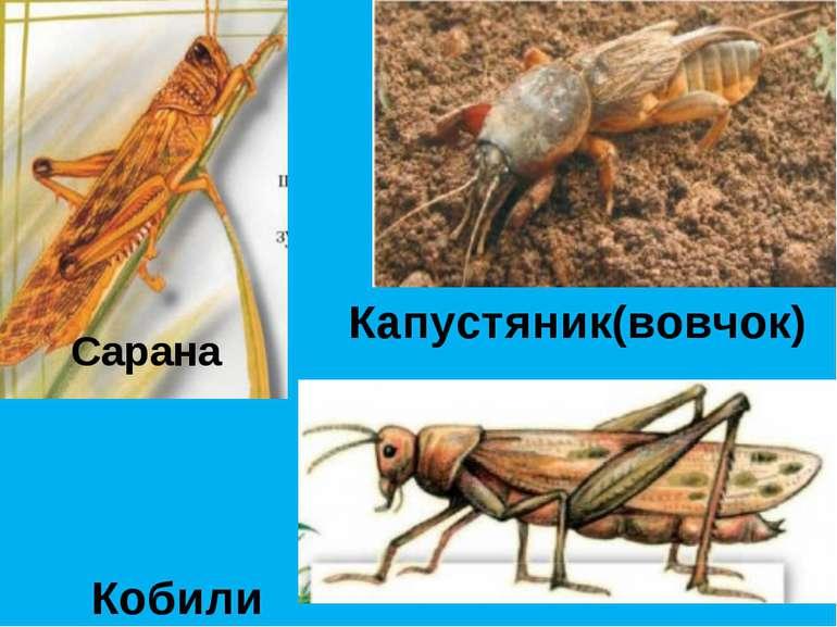 Сарана Кобили Капустяник(вовчок)