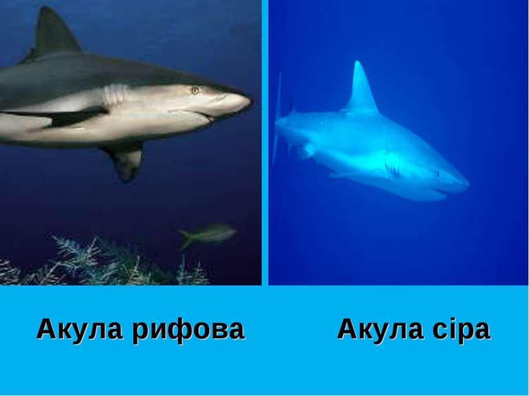 Акула рифова Акула сіра