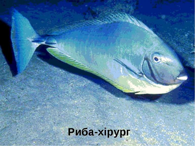 Риба-хірург
