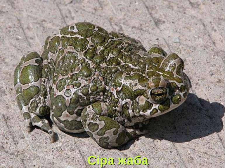 Сіра жаба