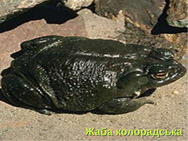 Жаба колорадська