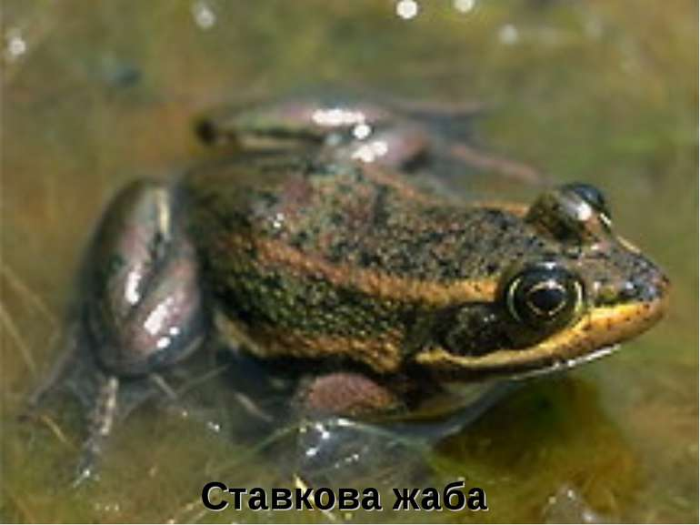 Ставкова жаба