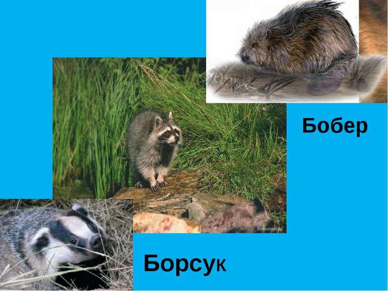 БорсуК Бобер