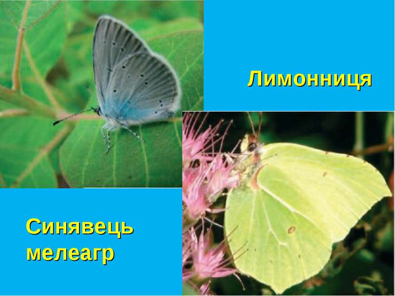 Синявець мелеагр Лимонниця