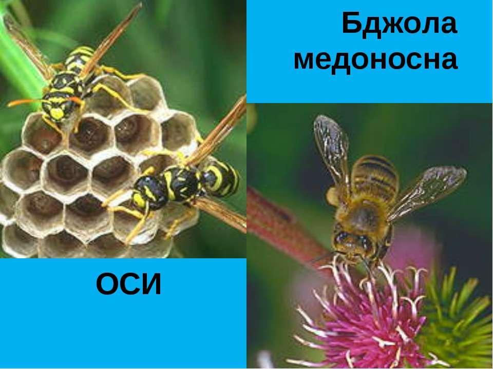 ОСИ Бджола медоносна