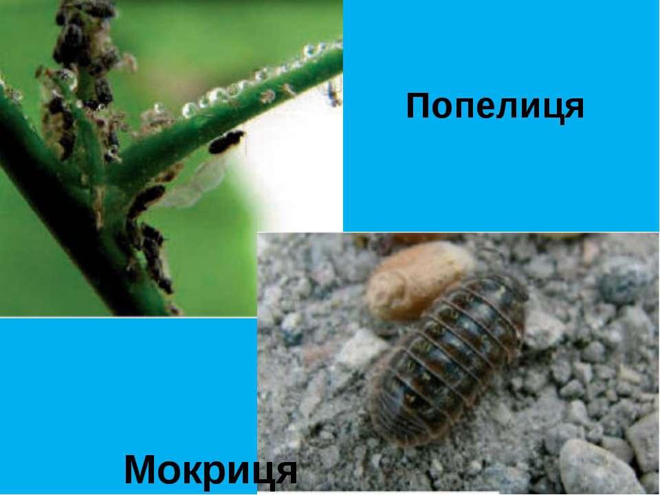 Попелиця Мокриця