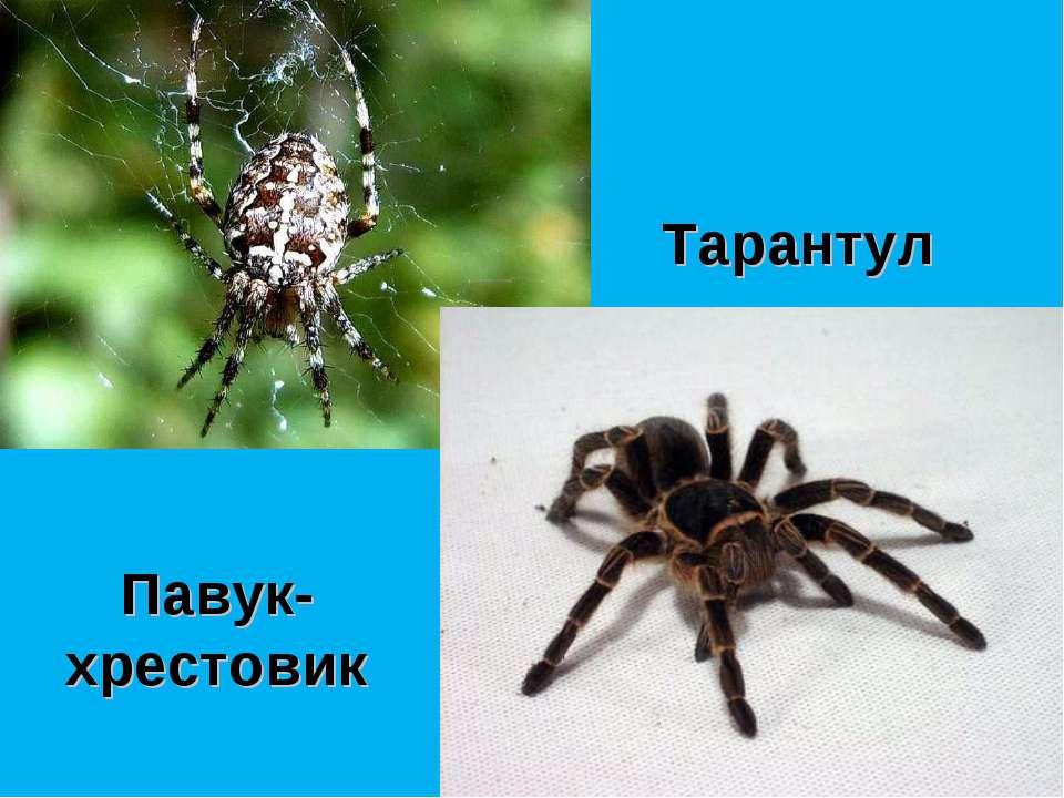 Павук-хрестовик Тарантул