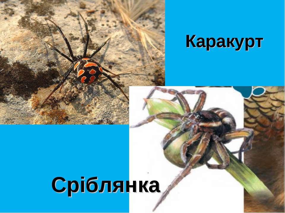 Каракурт Сріблянка