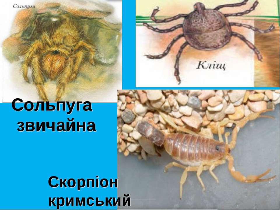 Сольпуга звичайна Скорпіон кримський