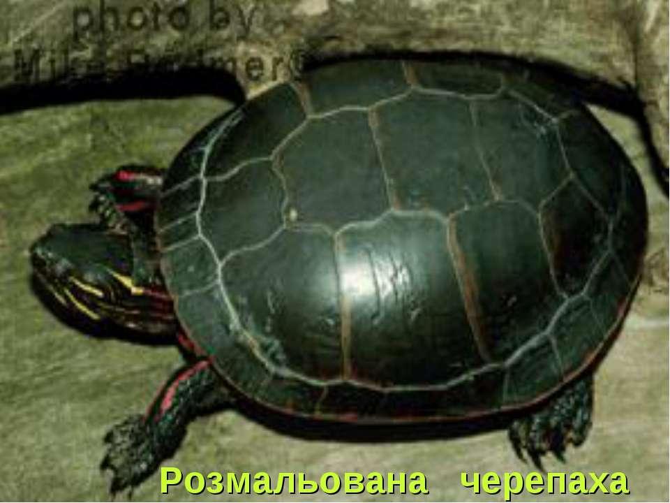 Розмальована черепаха