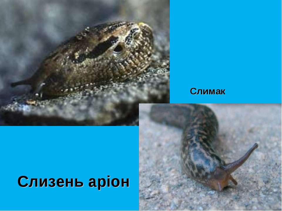 Слизень аріон Слимак