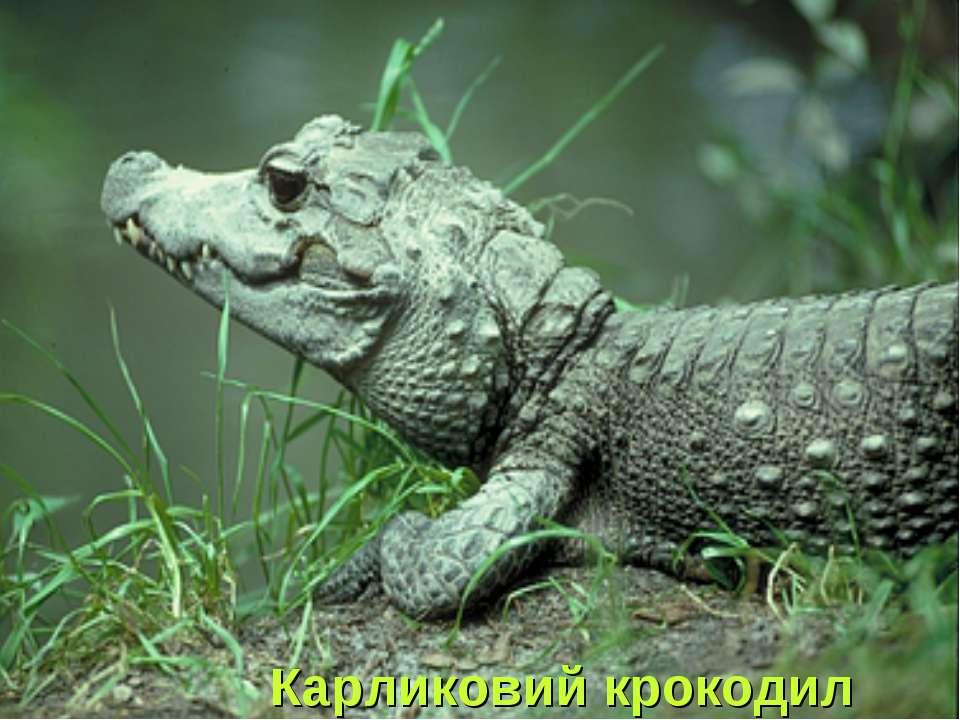 Карликовий крокодил