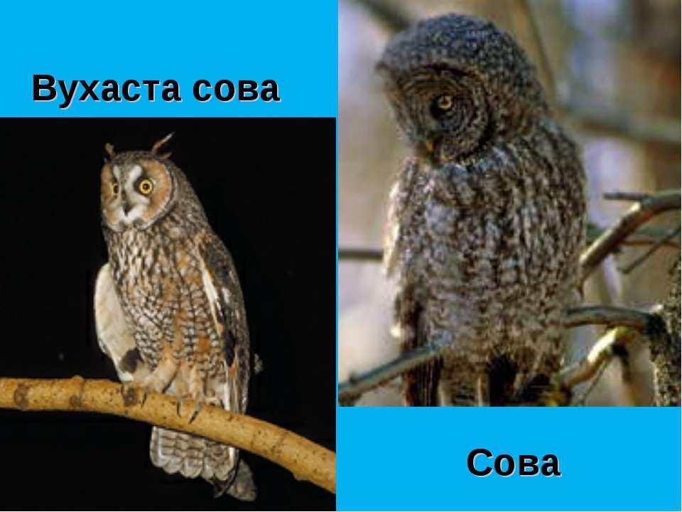 Сова Вухаста сова
