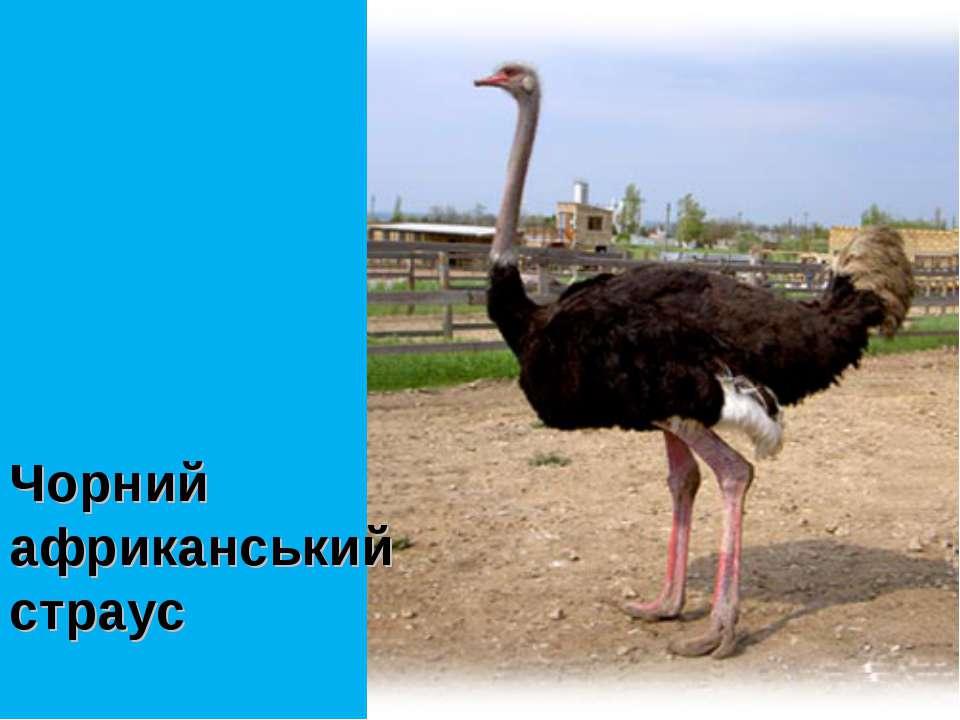 Чорний африканський страус