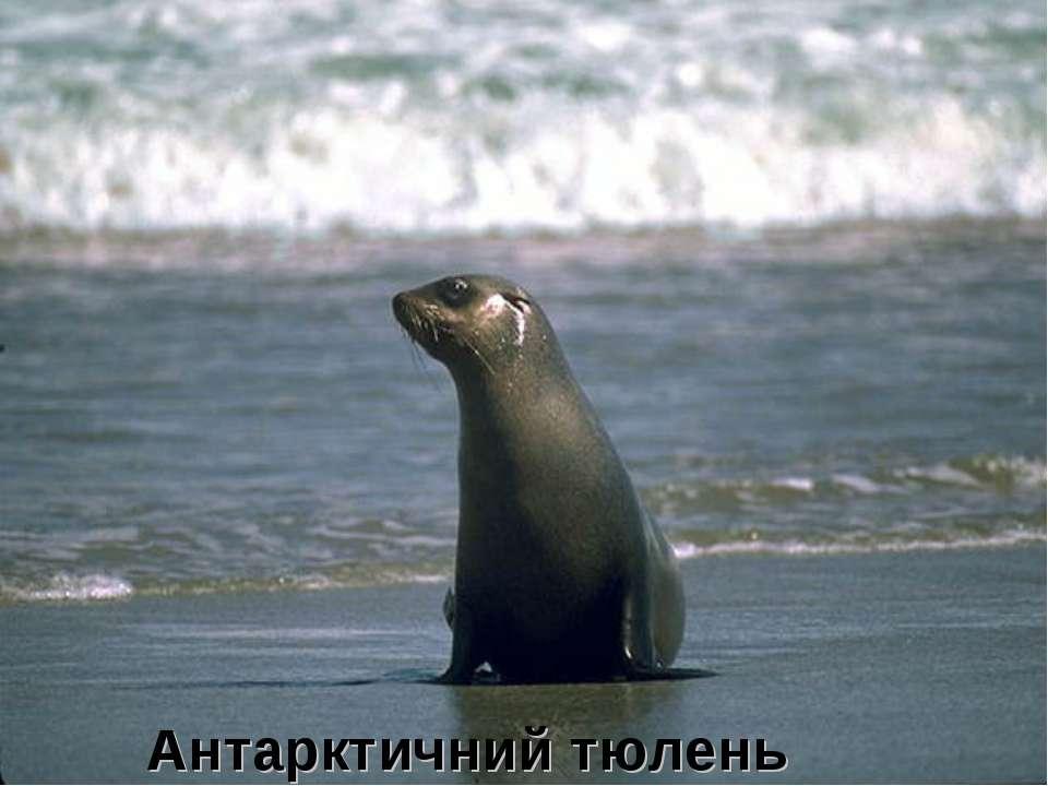 Антарктичний тюлень