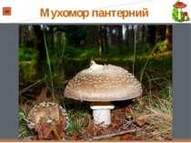 МУХОМОР ПАНТЕРНИЙ Мухомор пантерний