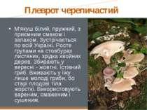 Плеврот черепичастий М'якуш білий, пружний, з приємним смаком і запахом. Зус...