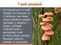 Гриб зимовий Зустрічається по всій Україні на пеньках та стовбурах листяних, ...