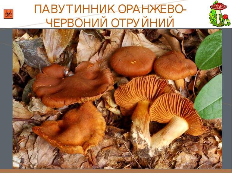 ПАВУТИННИК ОРАНЖЕВО-ЧЕРВОНИЙ ОТРУЙНИЙ