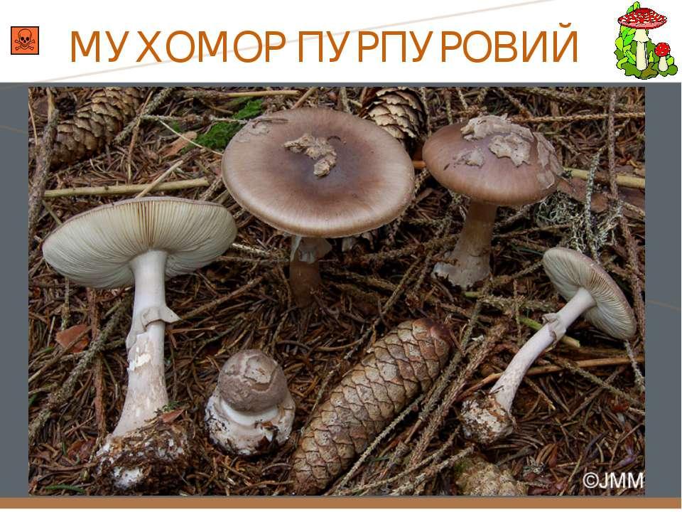 МУХОМОР ПУРПУРОВИЙ
