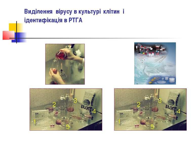 Виділення вірусу в культурі клітин і ідентифікація в РТГА