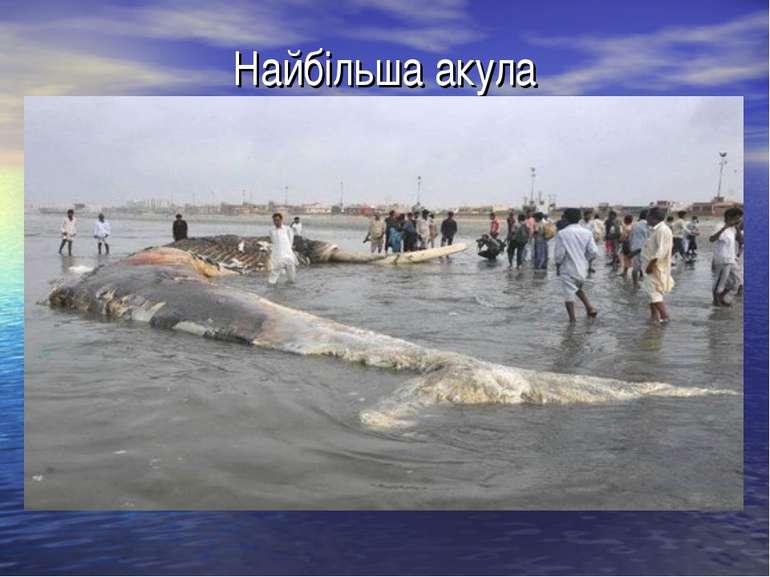 Найбільша акула