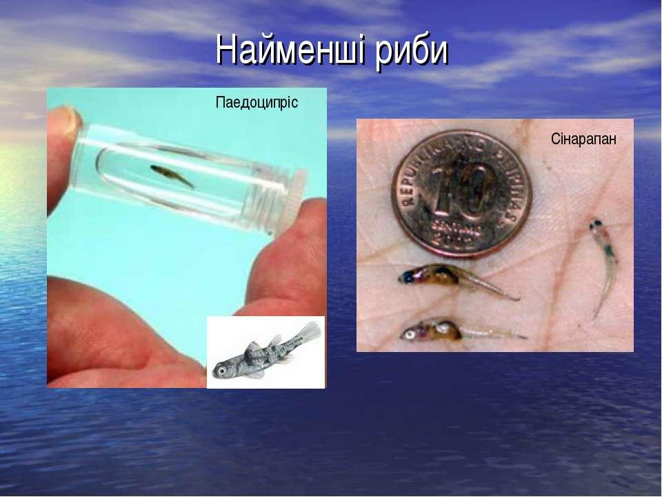 Найменші риби Паедоципріс Сінарапан