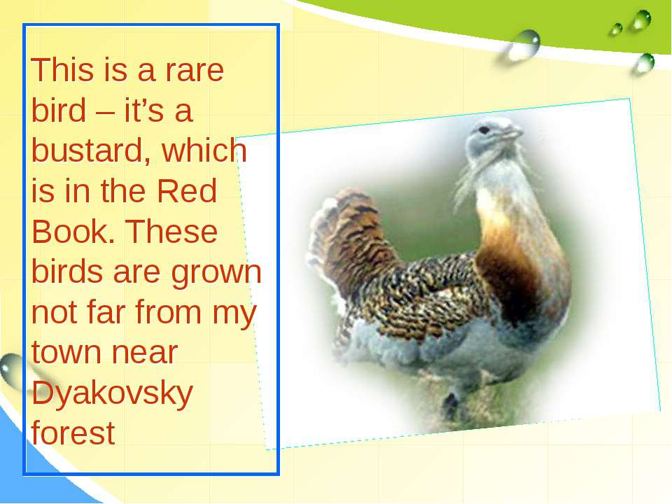 This is a rare bird – it's a bustard, which is in the Red Book. These birds a...