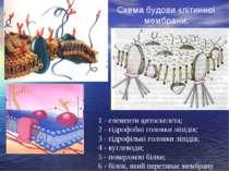Схема будови клітинної мембрани: 1 - елементи цитоскелета; 2 - гідрофобні гол...