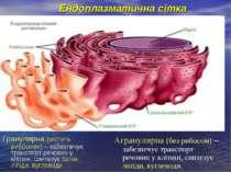 Ендоплазматична сітка Гранулярна (містить рибосоми) – забезпечує транспорт ре...