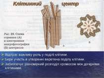 Відіграє важливу роль у поділі клітини. Бере участь в утворенні веретена поді...