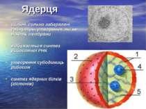 Ядерця щільні, сильно забарвлені гранулярні утворення, які не мають мембрани ...