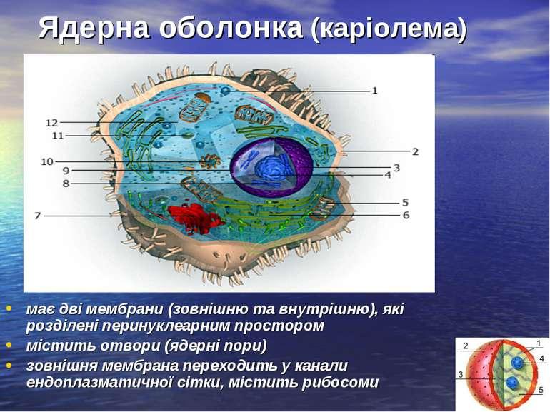 Ядерна оболонка (каріолема) має дві мембрани (зовнішню та внутрішню), які роз...