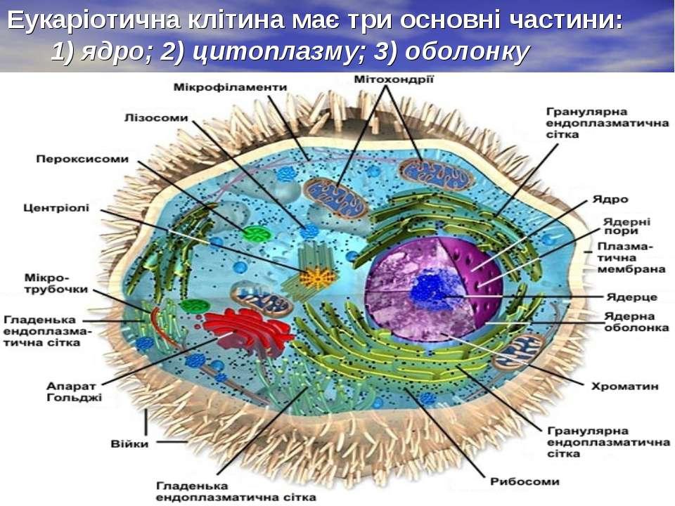 Еукаріотична клітина має три основні частини: 1) ядро; 2) цитоплазму; 3) обол...