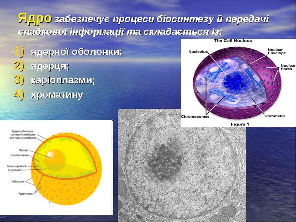 Ядро забезпечує процеси біосинтезу й передачі спадкової інформації та складає...