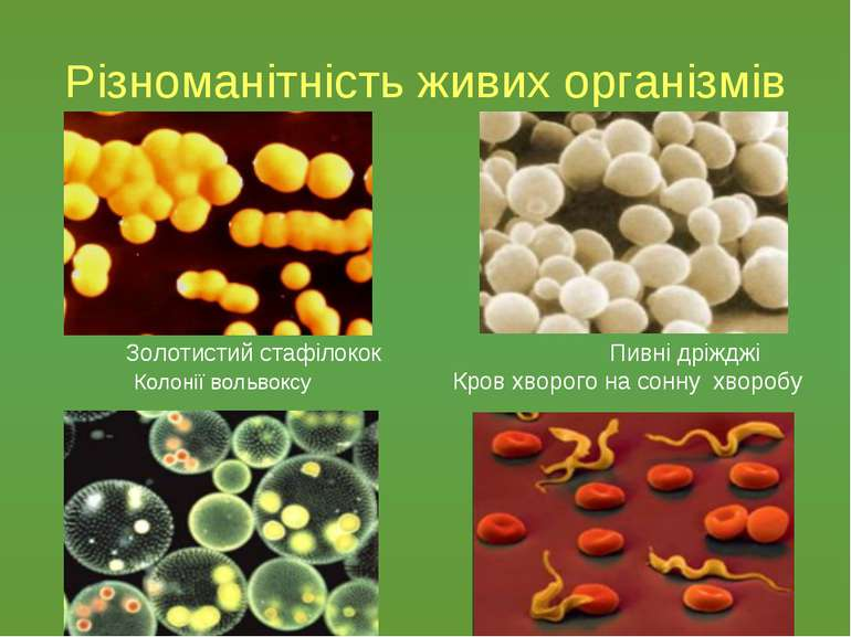 Різноманітність живих організмів Золотистий стафілокок Пивні дріжджі Колонії ...