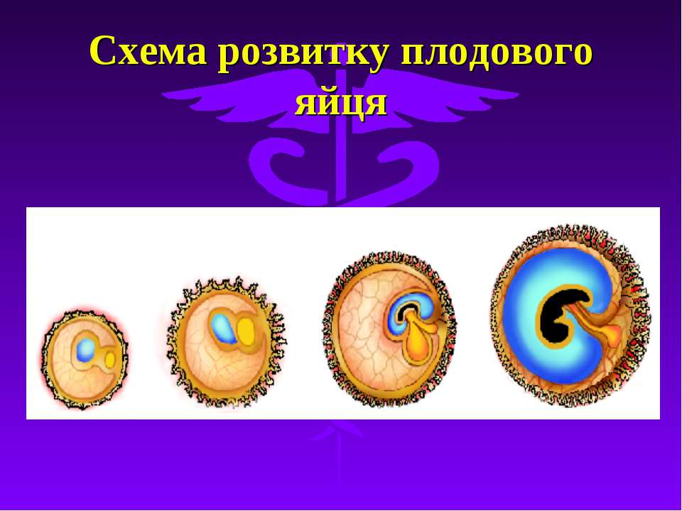 Схема розвитку плодового яйця