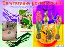 Розмноження організмів частинами тіла бульбами кореневищем цибулиною 14