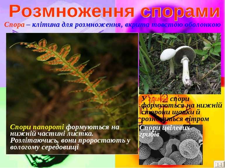 Спора – клітина для розмноження, вкрита товстою оболонкою Спори папороті форм...